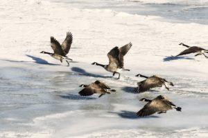 goose takeoff