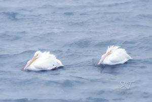 pelicans 1116